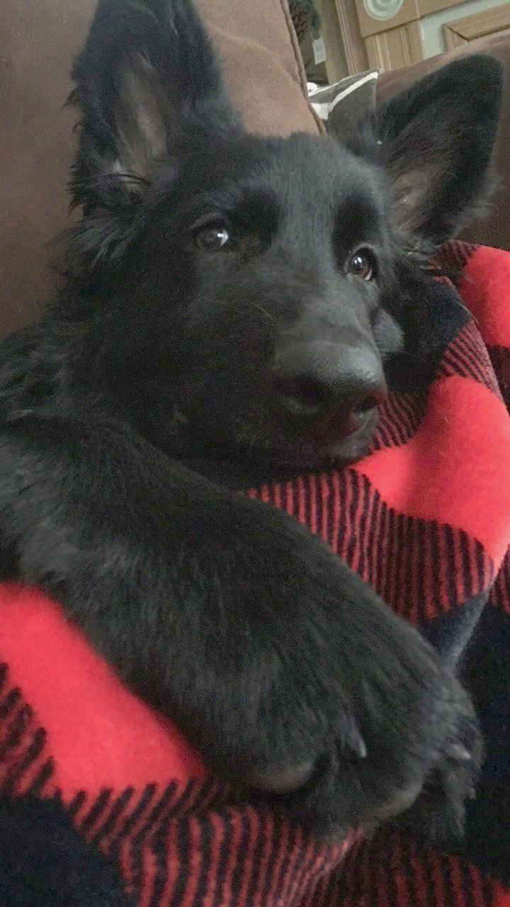 What Is The German Shepard S Real Temperament Black German Shepherd Puppies Shepherd Puppies Puppies