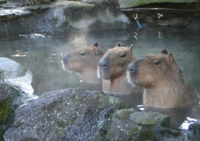 Capybaras in a hot spring. So cute! やっぱ、これだな。