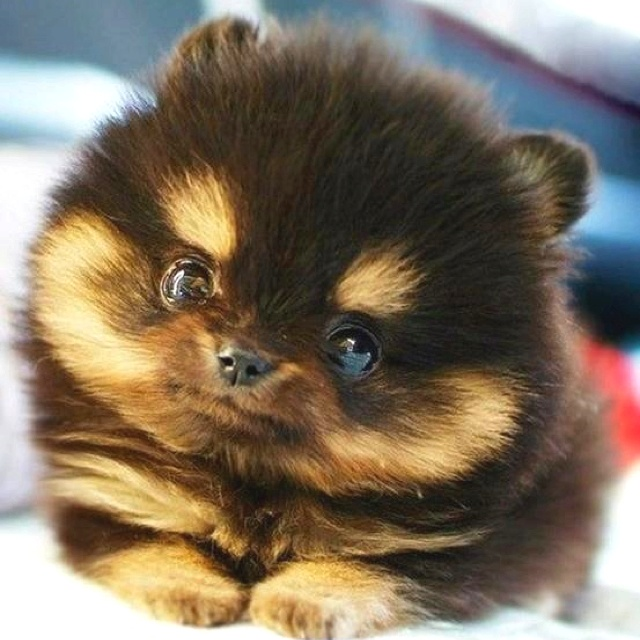 He's sooooo fluffy!!!!: Animals, Dogs, So Cute, Pet, Puppys, Adorable, Puppy, Pomeranian