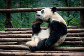 The Great Panda Thinker - stock photo