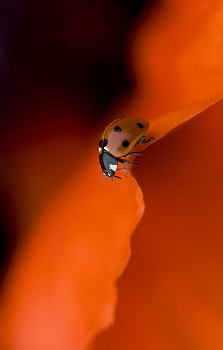 lady: Jackie Parker, Color, Red Flowers, Lady In Red, Ladybugs, Orange Flowers, Macros Photography, Lady Bugs, Blood Orange