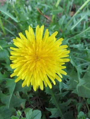 how to use dandelion root to lose weight