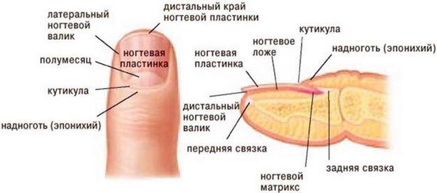 Натуральные ногти уже можно считать редкостью, ведь большинство регулярно наращивает их, покрывает гель-лаком, делает биоармирование или производит другие манипуляции. И чтобы все эти действия были совершены правильно, мастер маникюра должен знать анатомию ногтя. Ведь ноготь исполняет важную защитную функцию, а не только является полем для дизайна. http://estportal.com/stroenie-naturalnogo-nogtya/  #EstPortal #эстетическийПортал #стилистика #ногтевойСервис #ногти #строениеНогтя #терминология…