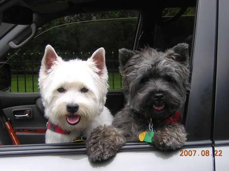 my west highland terrier, Stewart and my cairn terrier, Watson
