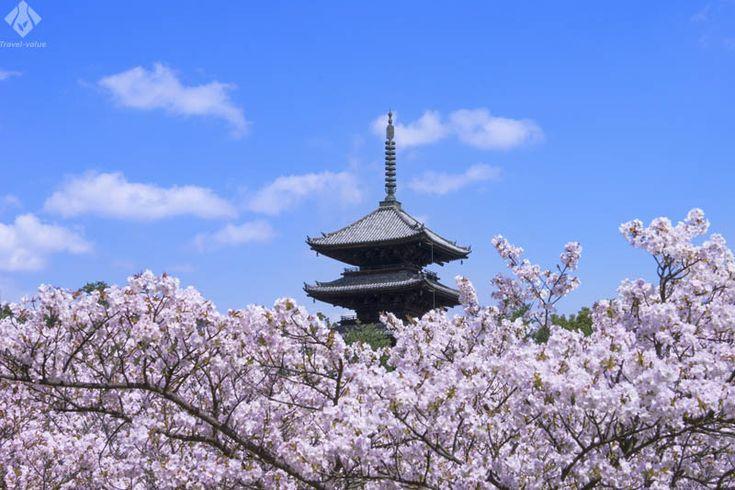 仁和寺 五重塔と桜