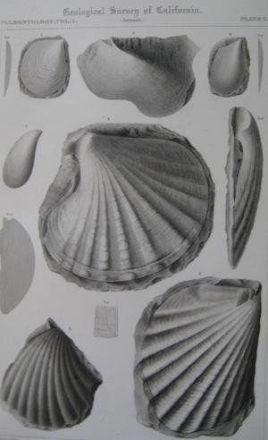 "Pl.7 Paleontology Vol. I (Jurassic). A detailed lithographic print of fossilized shells by M. Gabb from his book ""Geological Survey of California"". This book was Published by Authority of the Legislature of California by Bowen and Co. 1864 & 1869. First Editions. Two Volumes. Vol. 1, [xx] 243 pp. Vol. 2, [xvi], 299 pp. The book featured A total of 68 engraved plates of fossils with printed tissue guards. Carboniferous and Jurassic Fossils. Triassic and Cretaceous Fossils. Overall this…"