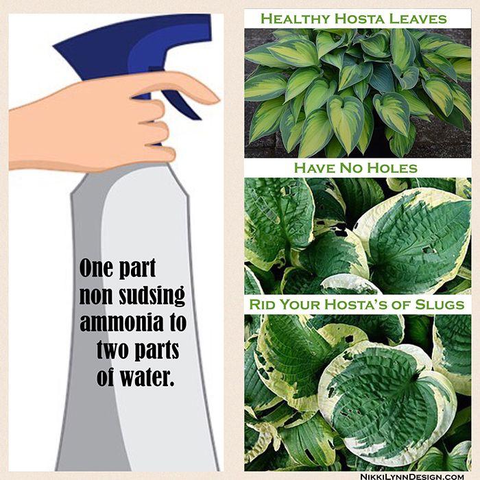 how to get rid of slugs on hostas