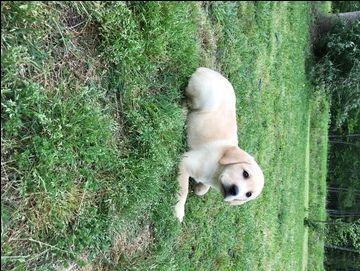 Litter of 5 Labrador Retriever puppies for sale in CONWAY, SC. ADN-29254 on PuppyFinder.com Gender: Female. Age: 9 Weeks Old