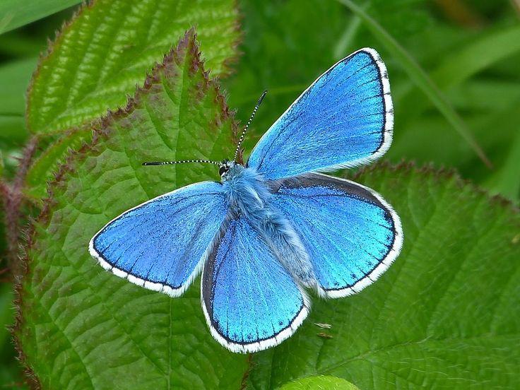 25+ Best Ideas About Blue Butterfly On Pinterest
