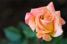 How to prepare soil for Roses PH Level