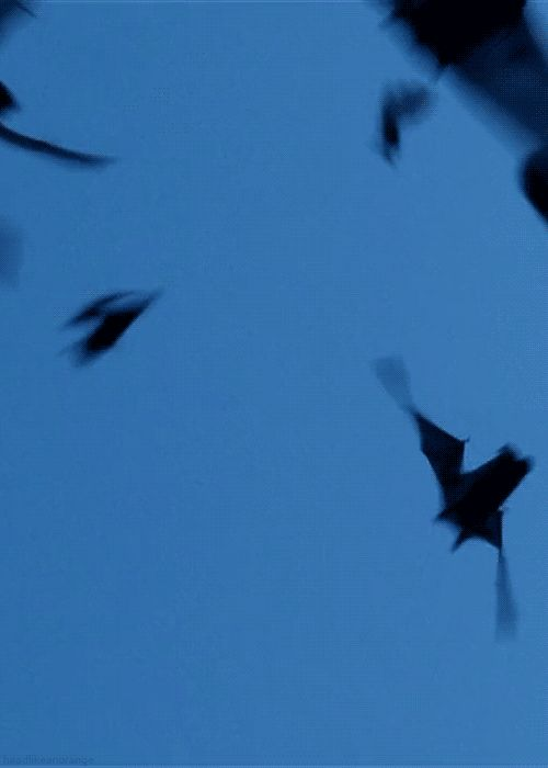 1000 images about 39 39 bats 39 39 bats 39 39 animal on for Animated flying bat decoration