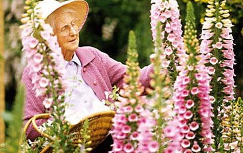 Fingerbøl er lige så selvskreven i den romantiske have som roser, pæoner og lavendler. Sådan sår du dem...