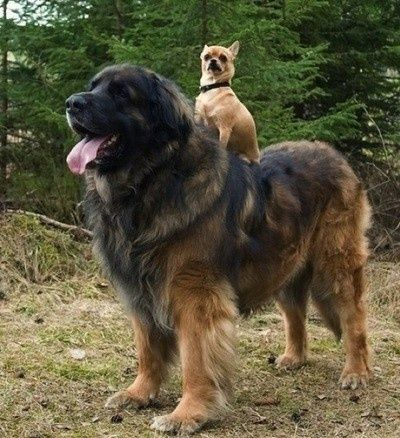 "Tibetaanse mastiff en Chihuahua: both the same ""Great-Dog-Character""..."