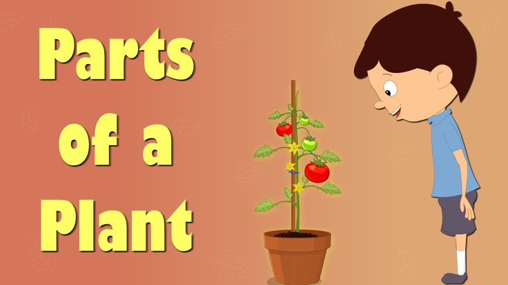 """You will learn about """"Parts of a Plant"""" in this video. A plant has many different parts that perform various functions. The 2 main parts of the plant are the..."""