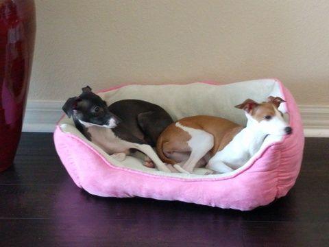 Italian Greyhound puppy for sale in TAMPA, FL. ADN-20522 on PuppyFinder.com Gender: Female. Age: 6 Months Old