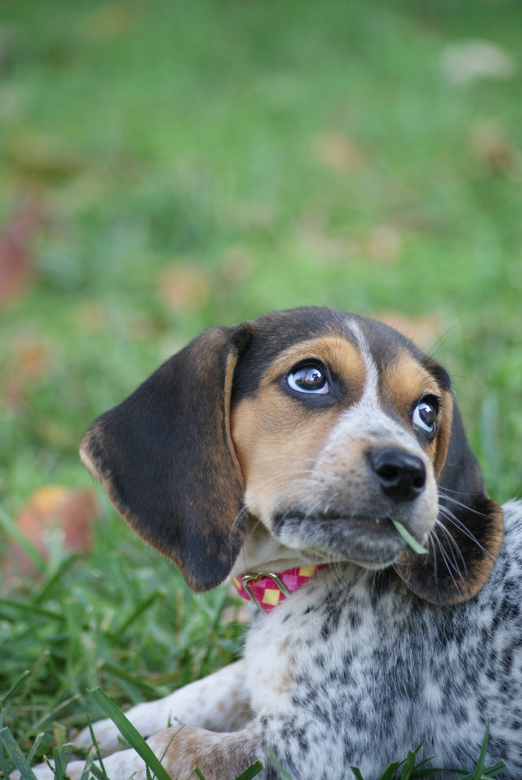 bluetick beagle sayings and pictures Pinterest Beagles