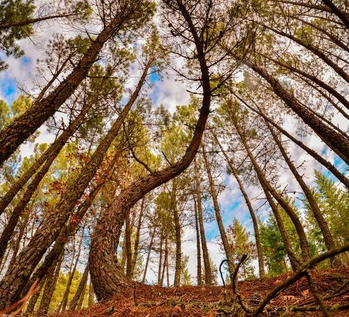 Photographer Antonio Bernardino - Pine trees #2087111. 35PHOTO