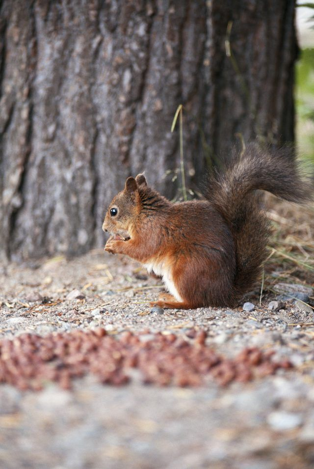 Squirrels often scurry down trees to ransack gardens.