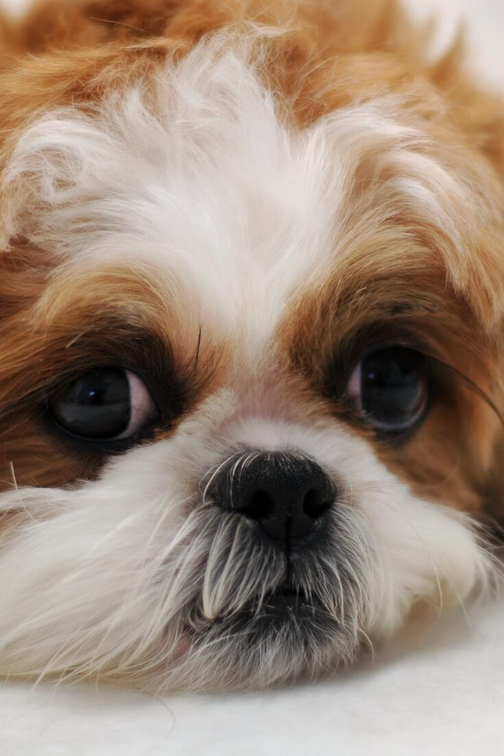 What Should I Give My Shih Tzu Puppy Who Has Diarrhea Shih Tzu Puppy Shih Tzu Puppies