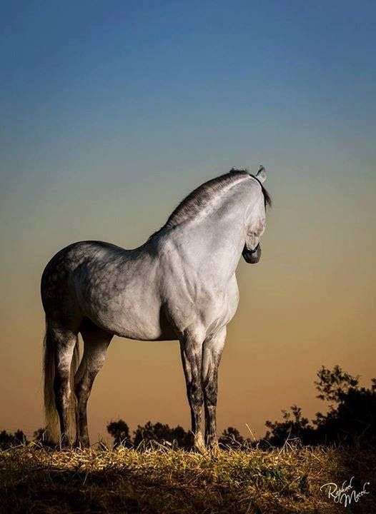dapple gray horse                                                                                                                                                                                 Mais
