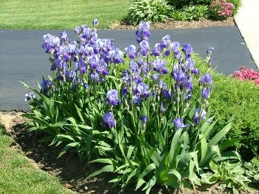 German Iris - reminds me of my mother. Along the main walkway to the house on the south side