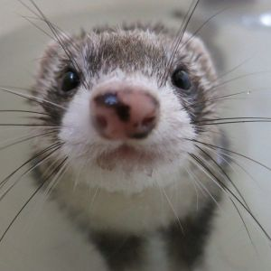 ferret with a cute nose