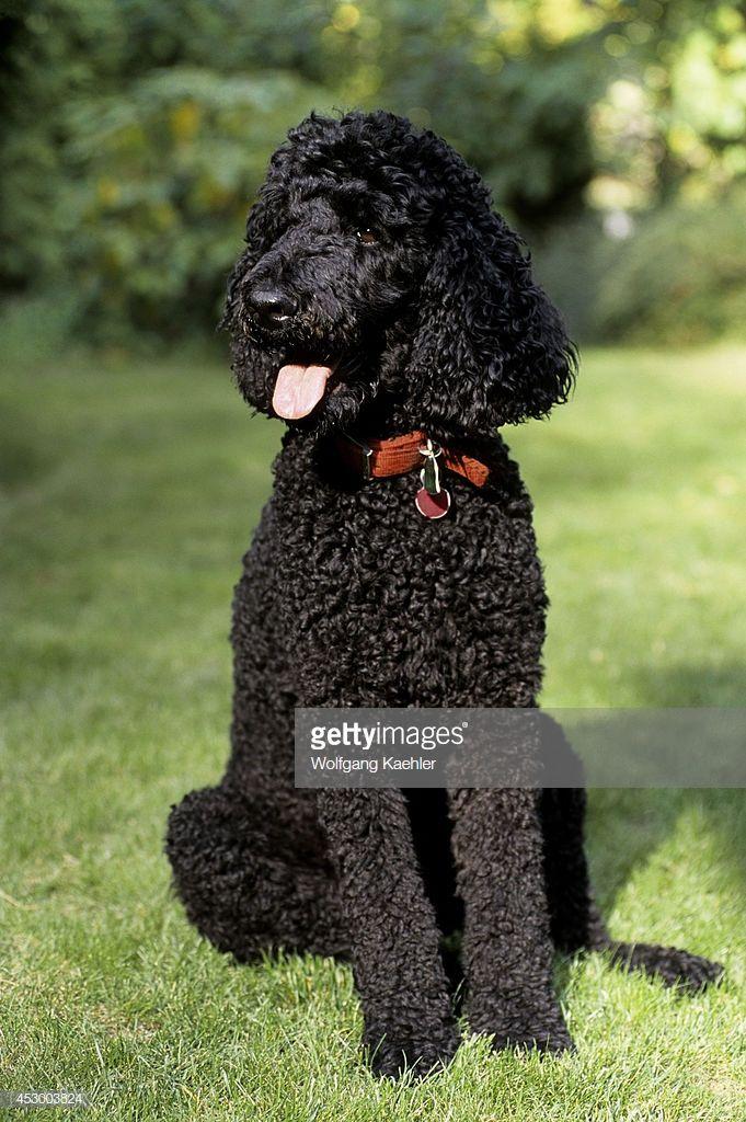 Year Old Male Standard Poodle Black Standard Poodle Poodle