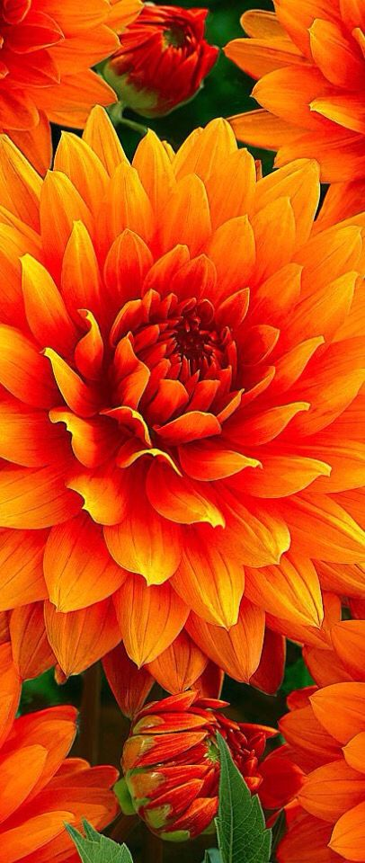 I ❤ COLOR NARANJA ❤ Orange Dahlias ❤