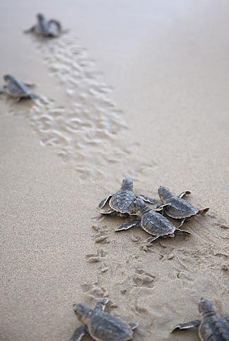 Baby Turtles run for the sea