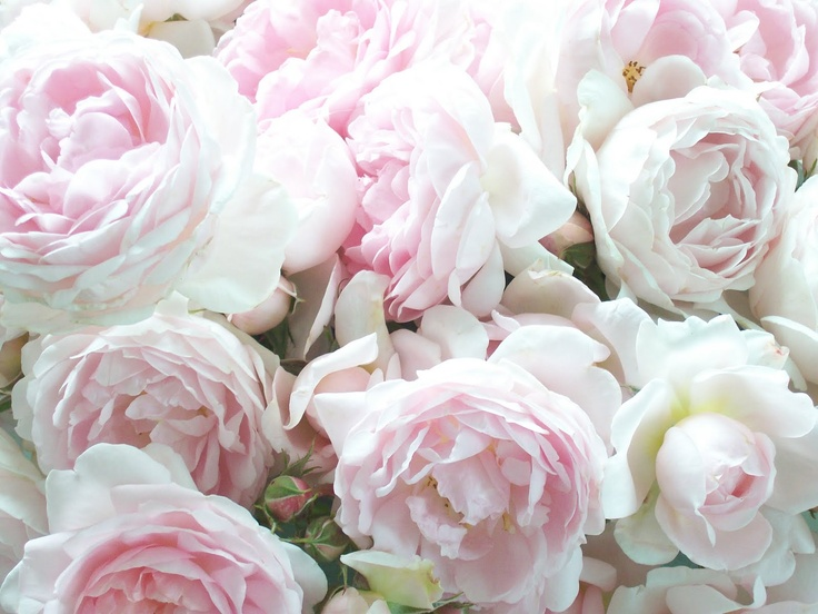 beautiful pale pink cabbage roses roses pinterest cabbage roses common sense and cabbages. Black Bedroom Furniture Sets. Home Design Ideas
