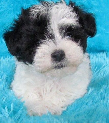Black & White Malti-Poo Puppy
