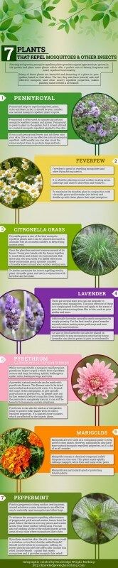 Plants That Repel Mosquitoes Infographic - citronella grass can be grown in wide variety of climate.