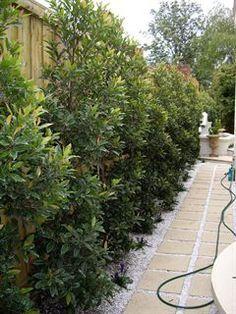 Elaeocarpus reticulatus - bird attracting native screening plant