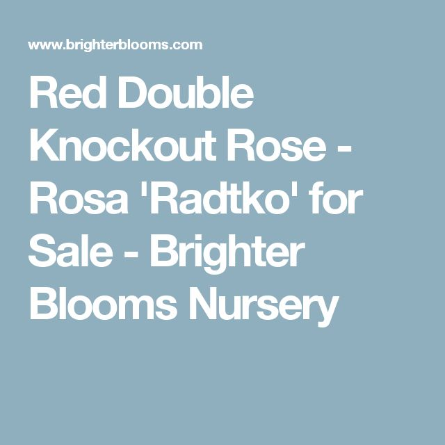 Red Double Knockout Rose - Rosa 'Radtko' for Sale - Brighter Blooms Nursery