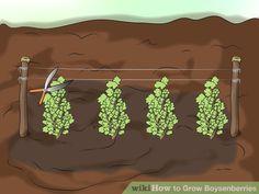 Image titled Grow Boysenberries Step 5