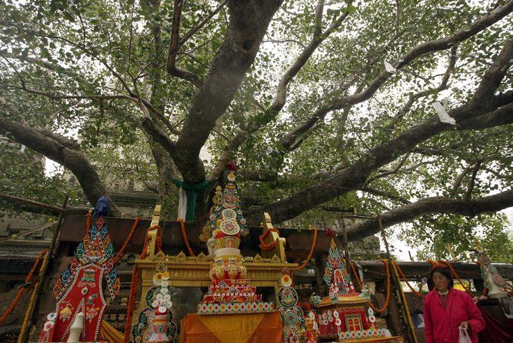 Дерево Бодхи - в месте просветления Будды Шакьямуни
