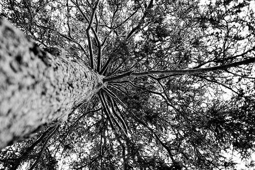 Grenfell Tree