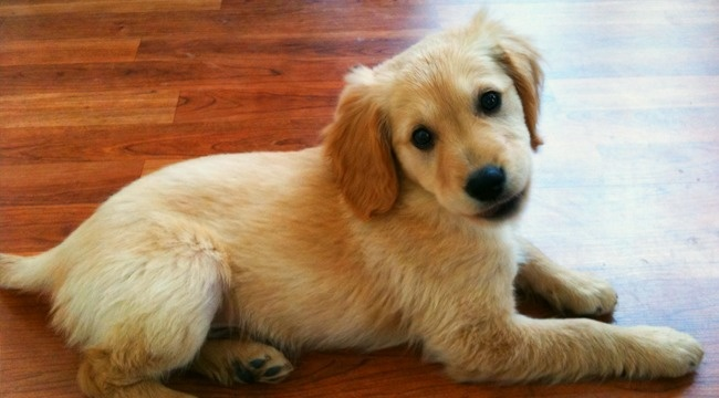 golden cocker retriever | Dogs | Pinterest | My life, In ...