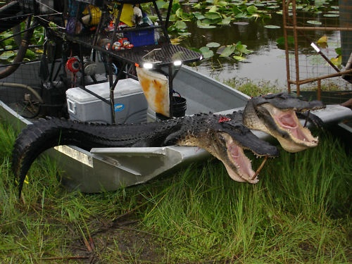2012 Florida Alligator Hunt in October 2012
