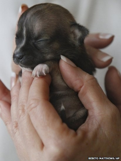 "A Dachsund puppy is vying for the title of ""world's smallest dog"". Animal rescuers in northern California say the animal was so small at birth that she could fit into a spoon."