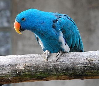 Blue mutated eclectus, wow!