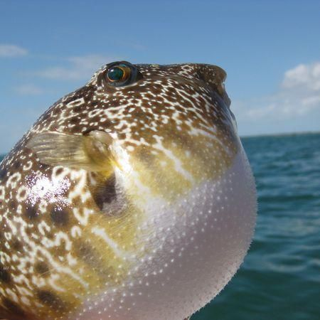 114 best puffer fish images on pinterest fish pisces for Puffer fish facts