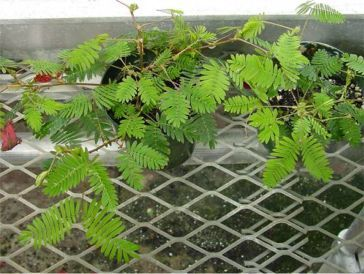 Sensitive plant.i love this plant.i remember playing with this plant in my house when I was a little girl.