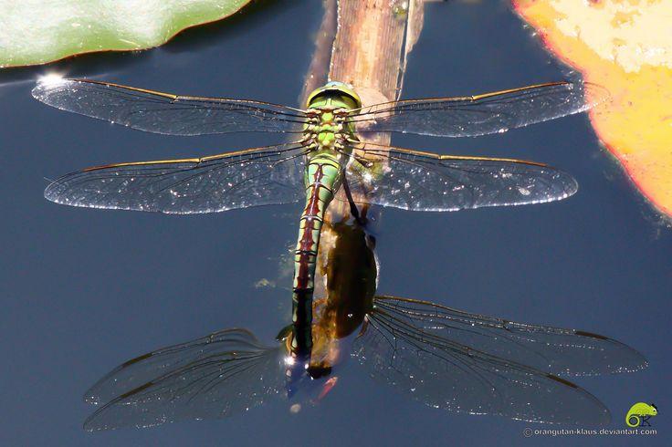 Emperor dragonfly by Orangutan-Klaus.deviantart.com on @deviantART