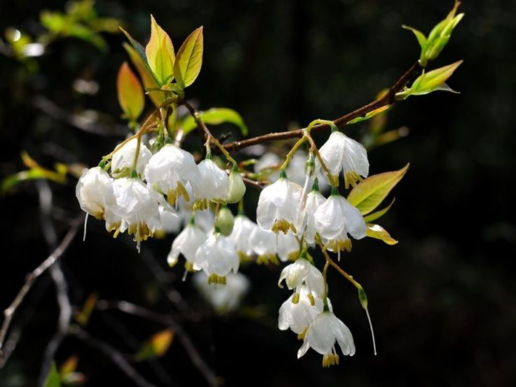The health benefits of Benzoin Essential Oil can be attributed to its properties like anti depressant, carminative, cordial, deodorant, disinfectant, relaxant, diuretic, expectorant, anti septic, vulnerary, astringent, anti inflammatory, anti rheumatic and sedative. Benzoin oil was there in use thousands of years ago and instances have been found of its use in some of the oldest civilizations of the world, particularly in their religious ceremonies and in their medicines, mainly due to its…