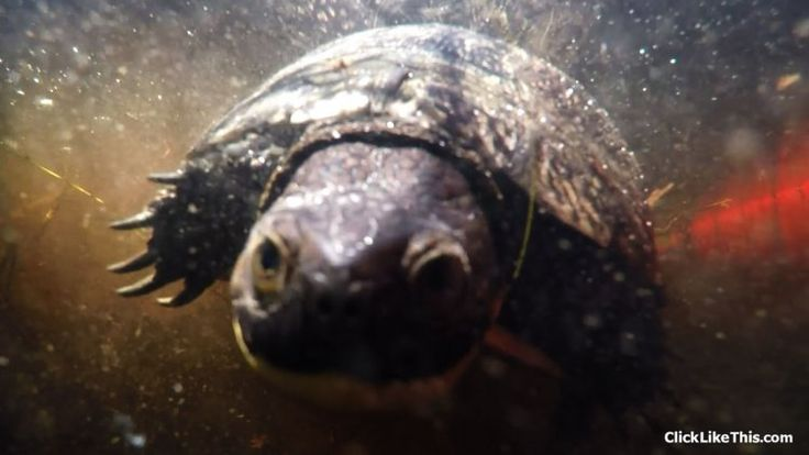 In this GoPro video a Blanding's turtle swims right up to the camera. #gopro…