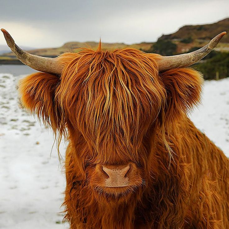 Image result for needle felt highland cow coo