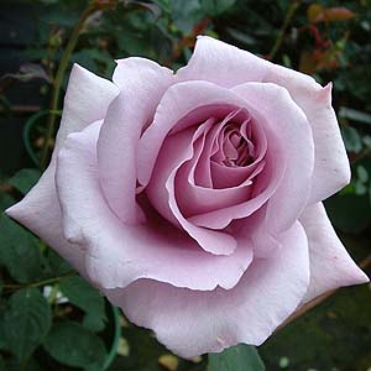 1000 images about lilacs and roses on pinterest rose - What are blue roses called ...