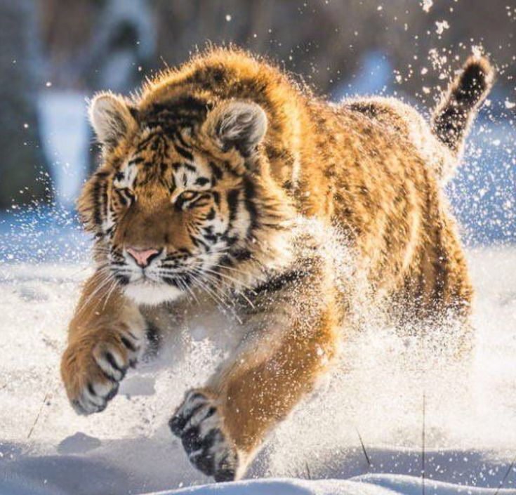 A Young Siberian Tiger Running in Deep Snow.