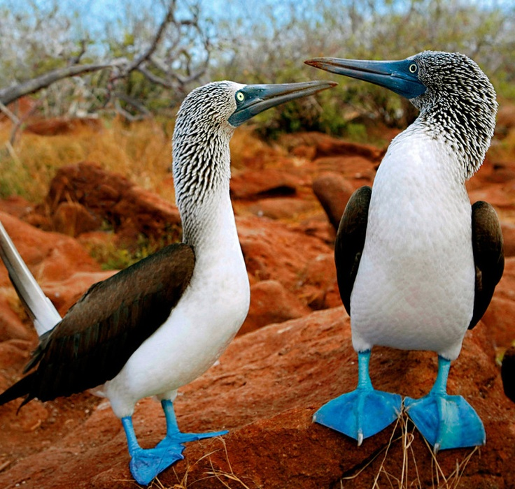 ~~Blue-Footed Booby, Galapagos Islands~~